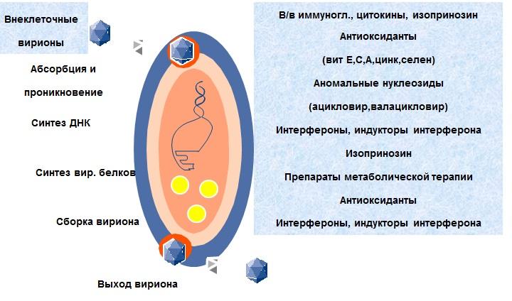 Механизм противовирусного действия препаратов в отношении ВЭБ