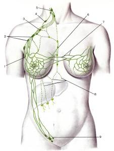 Пути оттока лимфы от молочной  железы