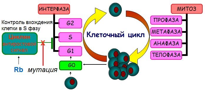 Второй тип онкогенных мутаций
