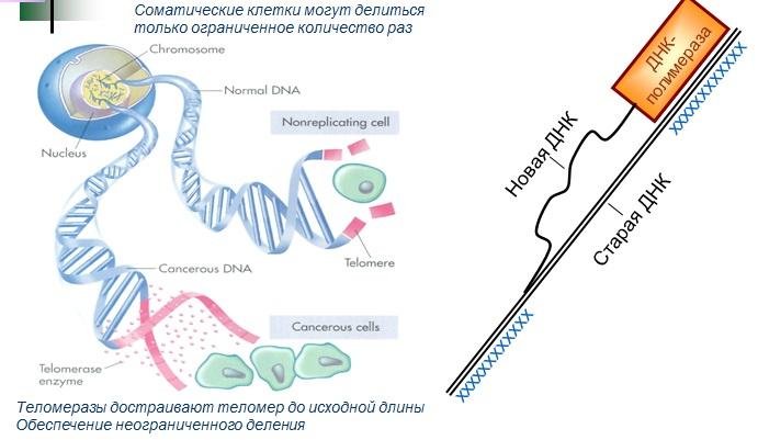 гены, контролирующие количество репликаций ДНК