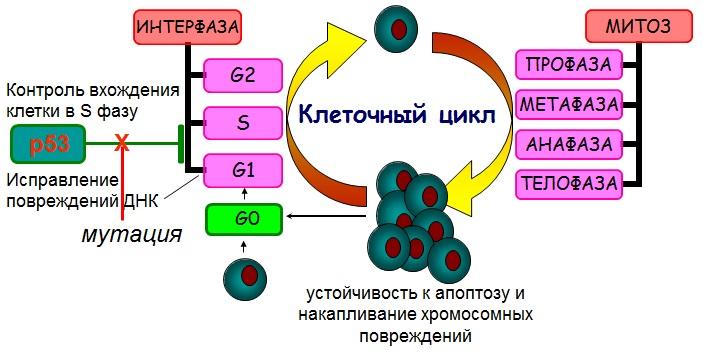онкогенных мутаций – гены, контролирующие апоптоз