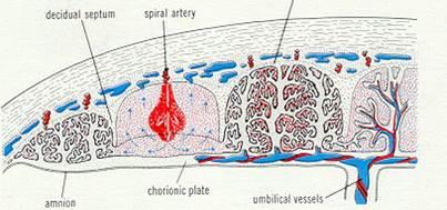 Плацента – период формирования котиледонов