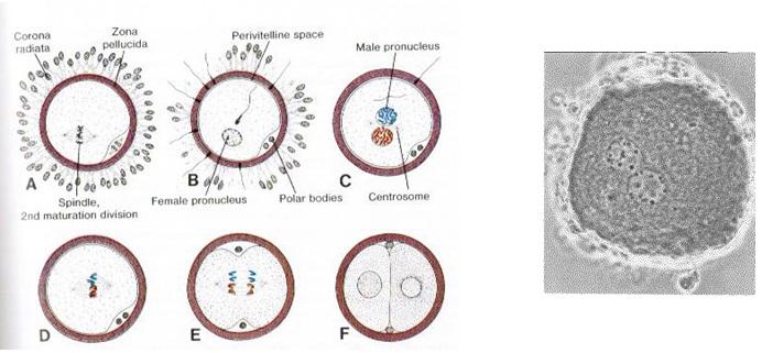 Слияние ядер (синкарион)